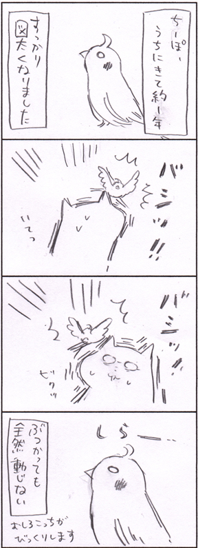 オカメインコのちーぽは図太い!体当たりは当たり前です